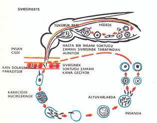 Malarya parazitinin hayat devrelerinin basit diyagramı