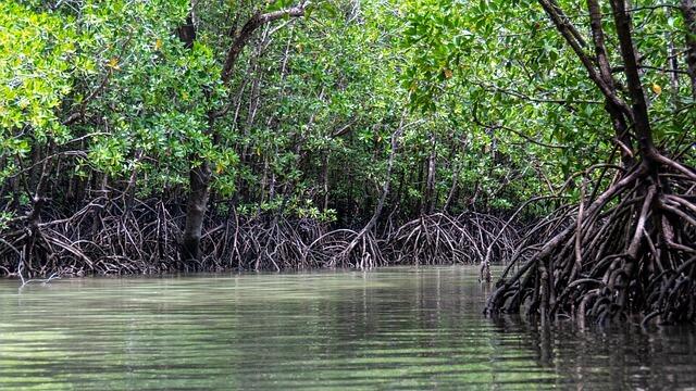 Mangrov Nedir - Mangrov Bitki Örtüsü Özellikleri Nelerdir?