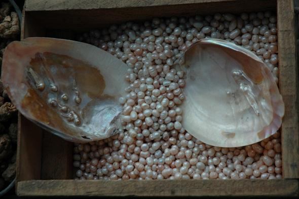 balık   pullarından yapay inci ve sedef yapımı ile ilgili görsel sonucu