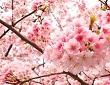 japon kiraz çiçeği