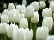 lale çiçeği
