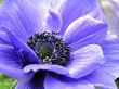 Mavi Anemon Çiçeği