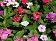 rozet çiçeği