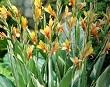 tesbih çiçeği