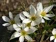 zeytin çiçeği
