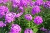 Alev Çiçeği