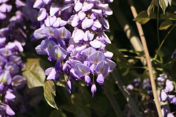 Mor Salkım Çiçeği