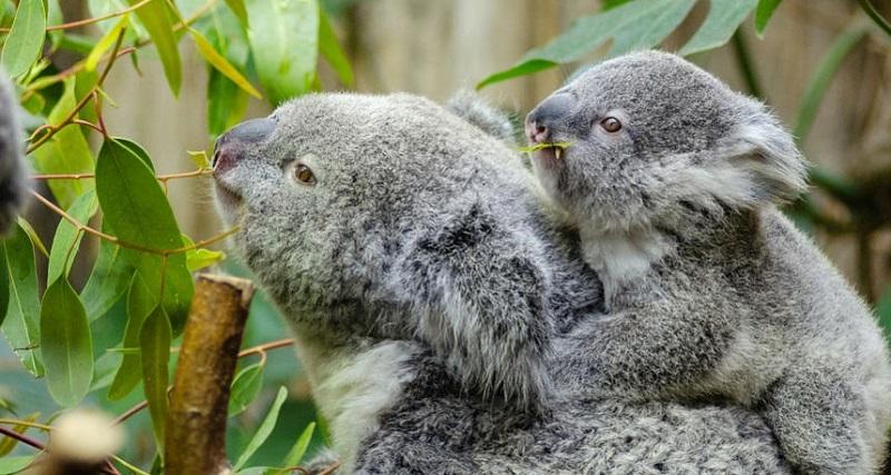 Koala Nasıl Bir Hayvandır Hakkında Bilgiler
