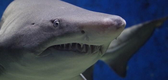 köpekbalığı