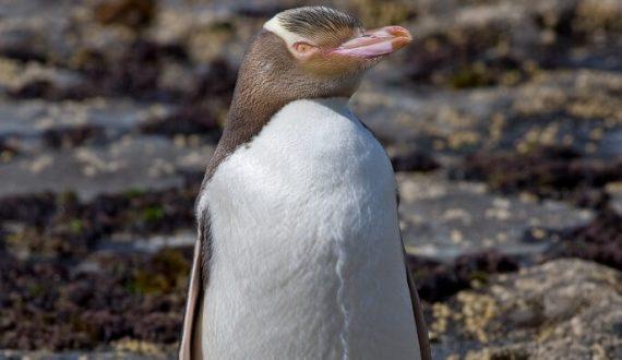 sarı gözlü penguen