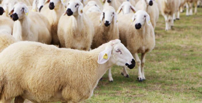 Akkaraman koyunu