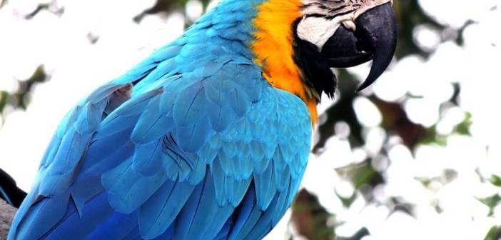 Macaw amerikan papağanı