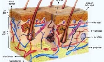derinin yapısı