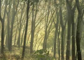 Kauçuk Ağacı Hakkında Bilgi – Özellikleri, Yetiştirilmesi ve Ürünleri