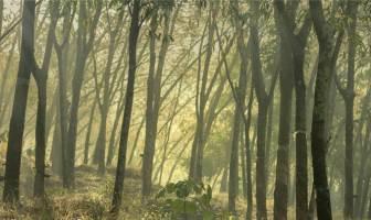 Kauçuk Ağacı