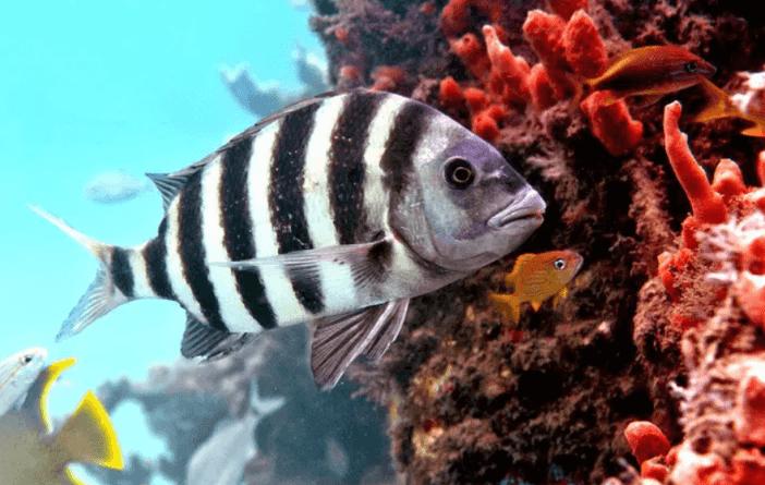 Mahkum Balığı