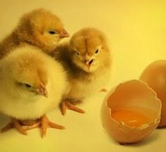 Tavuk Mu Yumurtadan Yumurta Mı Tavuktan Çıkar? Bilimsel Açıklama