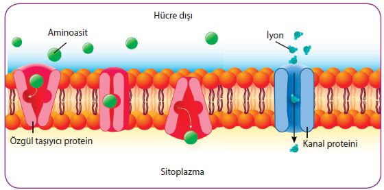 hücre zarından madde geçişi
