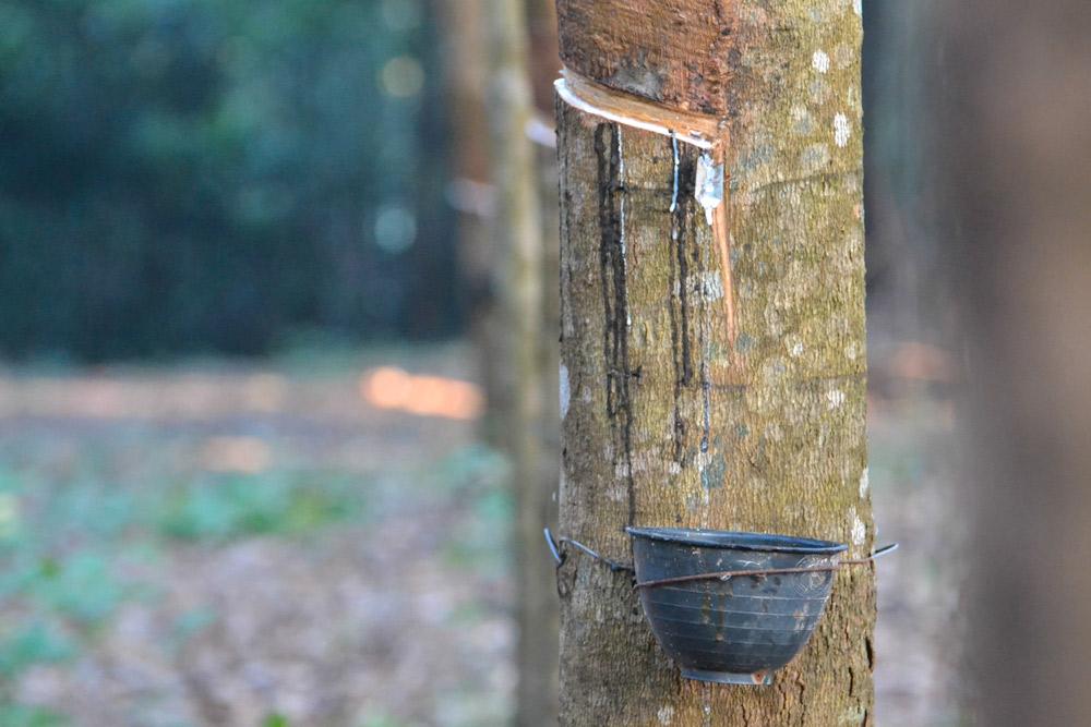ต้นยางพารา-นครพนม