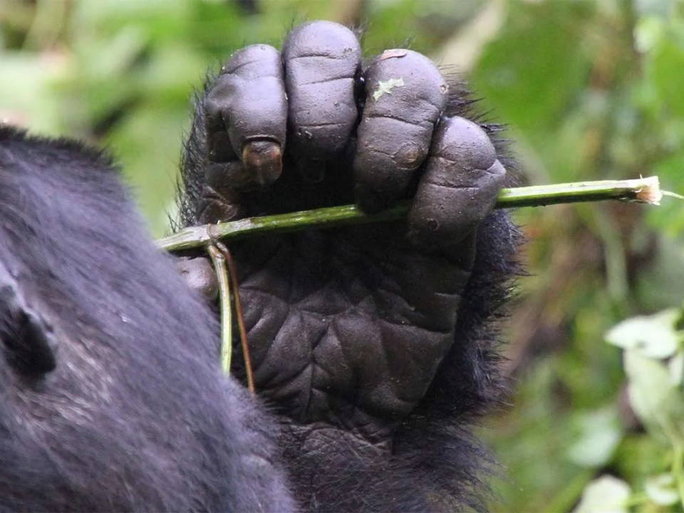 The History of Gorilla Tourism