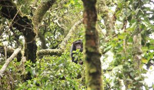 5 Days Nyungwe Chimps Tracking