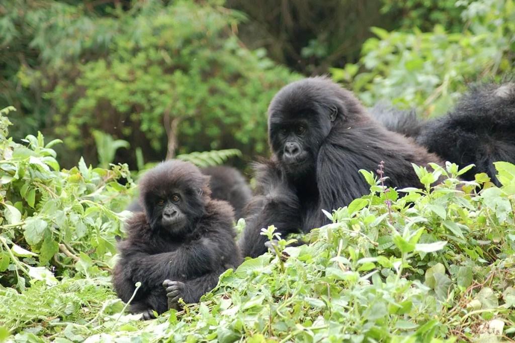 Mountain Gorilla Habituation in Bwindi