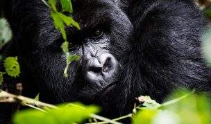 4 Days Gorilla Safari & Visoke Hike