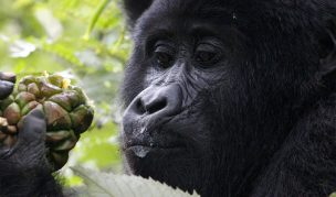 Mountain Gorilla Habituation in Bwindi