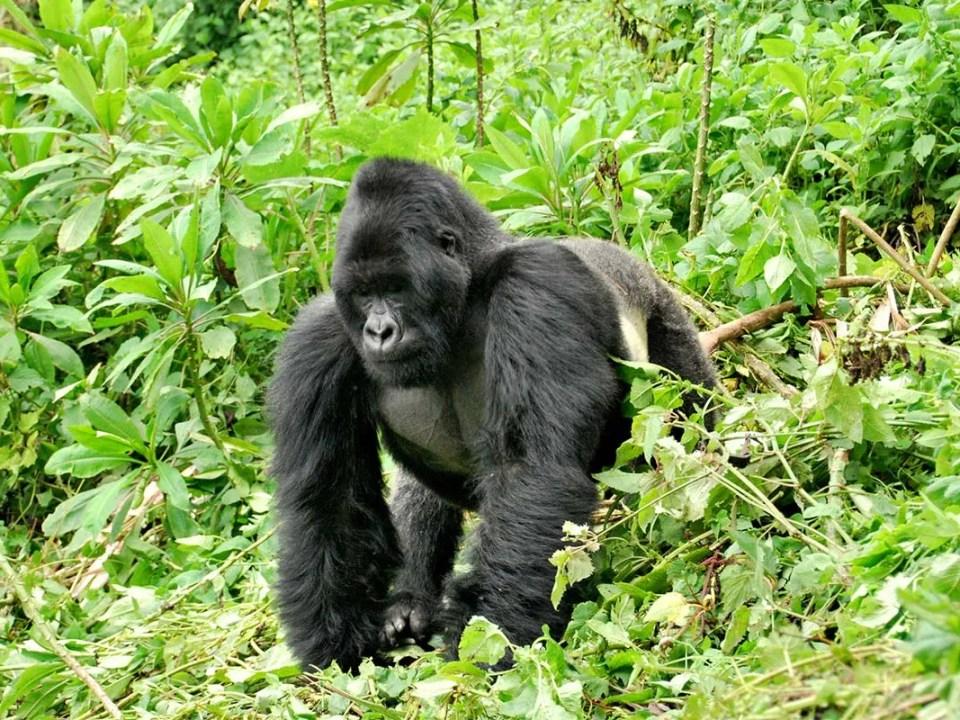 Comparing Gorilla Trekking in Uganda and Rwanda - 5 Days Gorilla Tracking Adventure Safari by road