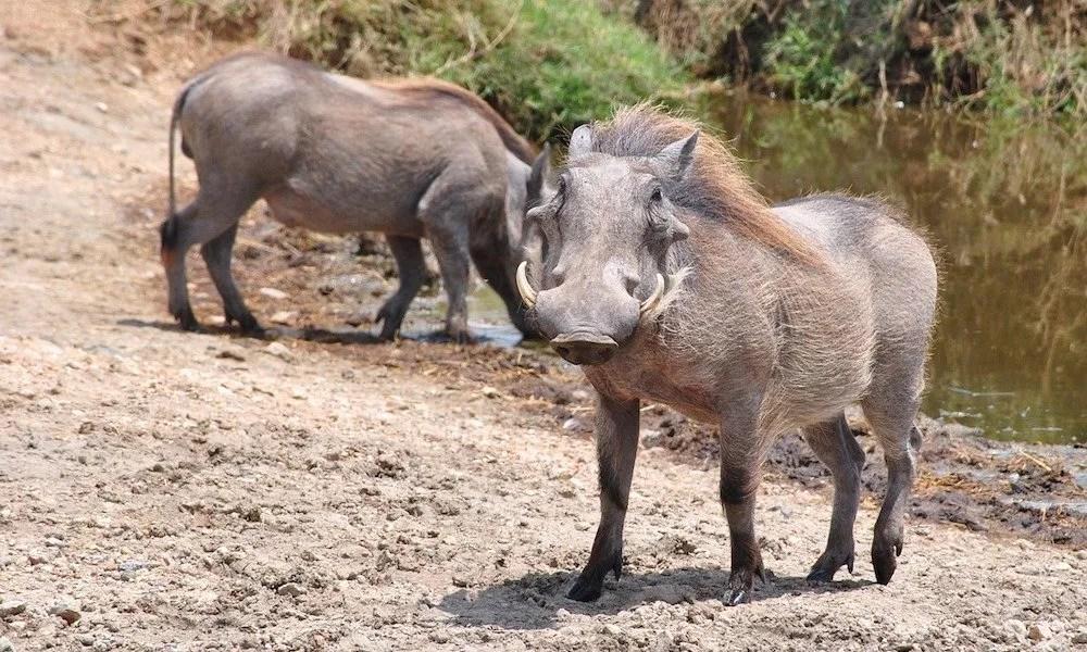 Warthog, Uganda