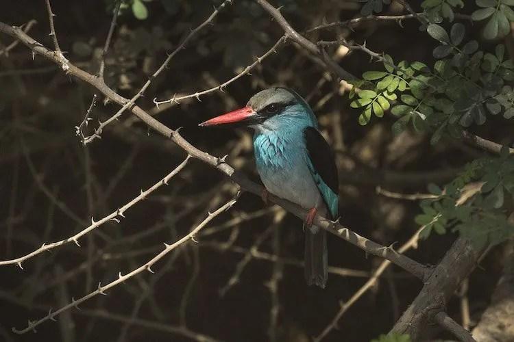 Blue breasted Kingfisher, Uganda