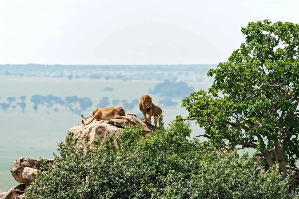 Lions in Kidepo Valley
