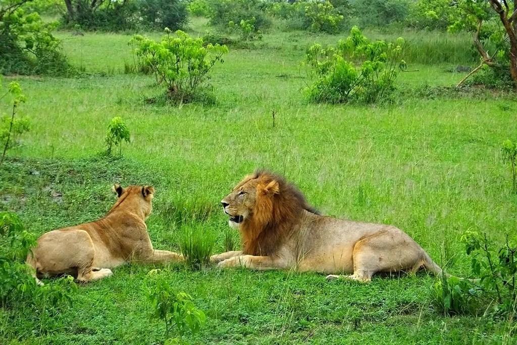 Lions in Murchison falls nbsp» Inspire African Safaris