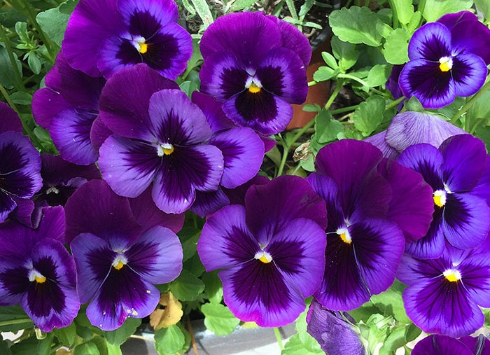 Featured Art: Pansies