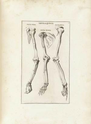 Historical Anatomies on the Web: Bernardino Genga Home