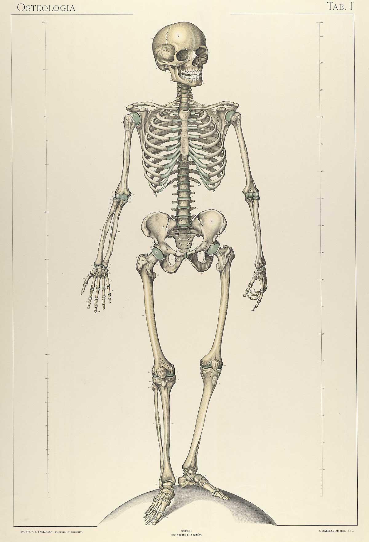 Historical Anatomies On The Web Sigismond Laskowski Home