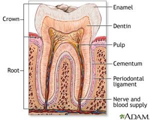 Tooth anatomy: MedlinePlus Medical Encyclopedia Image