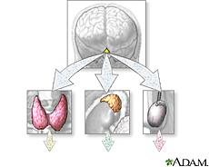 Illustration of hormone secretion from endocrine glands