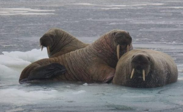 Walruses lounge on sea ice between Iglulik and Hall Beach in October 2014. photo courtesy of Jay Williams