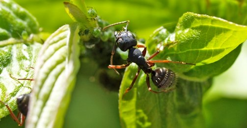 There Is Also The Harvester Ant Which Sort Of Like Semi Truck Red Ant Variety And Some Varieties Red W Black Abdomin Can