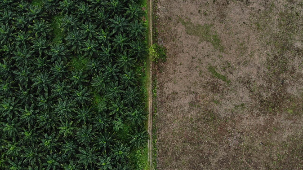 Cultivar palma africana ya no se considera de alto impacto ambiental