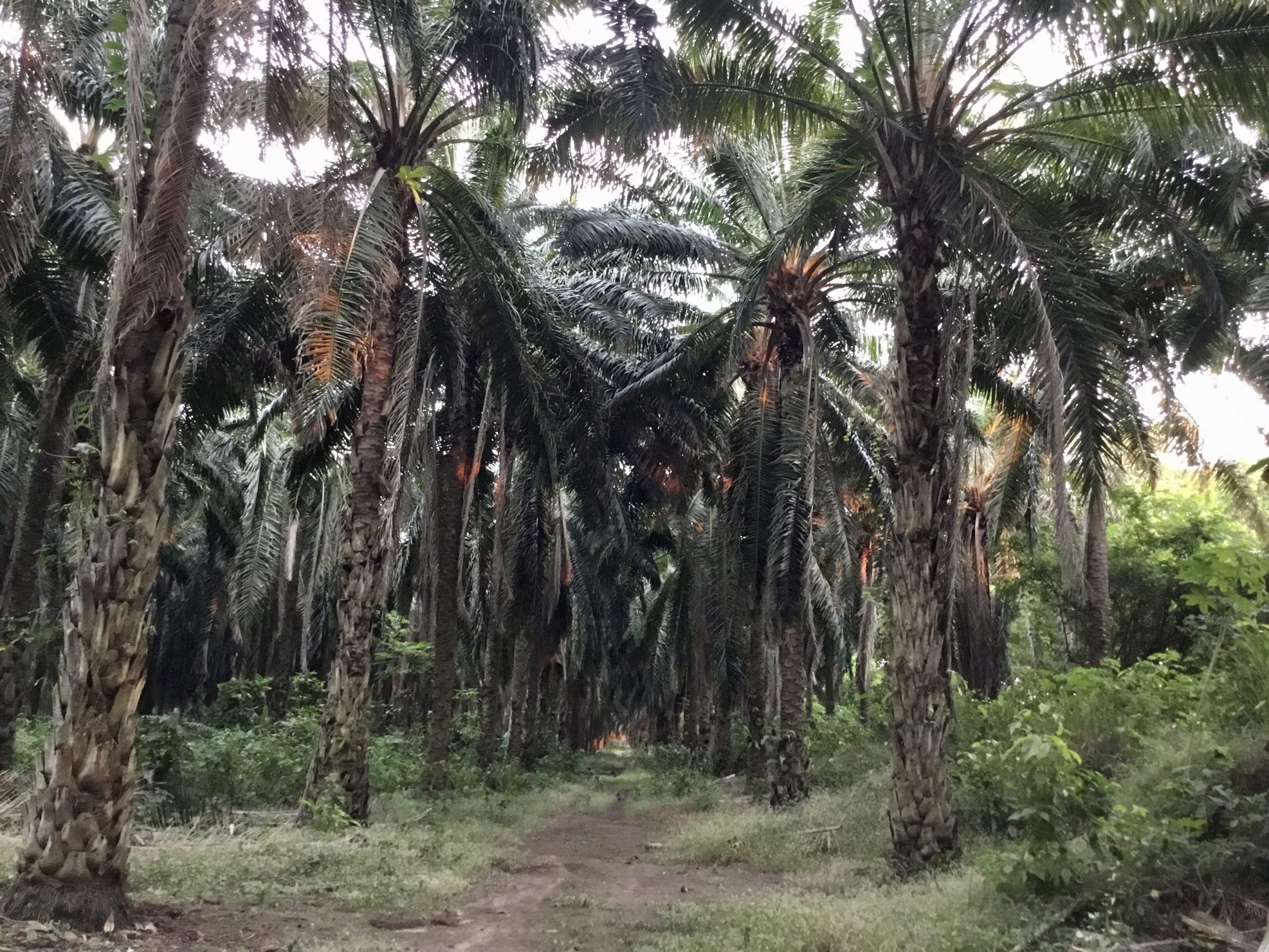 El conflictivo avance de la palma aceitera en Guatemala