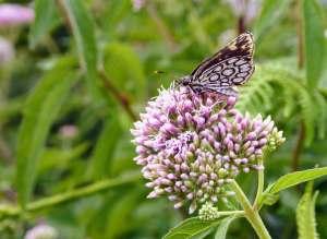 De warmte en de droogte zijn goed voor de vlinderstand