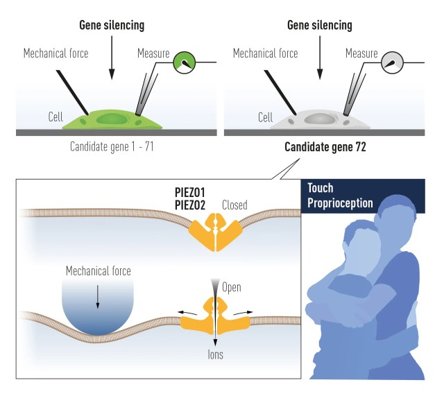 Células mecanosensibles