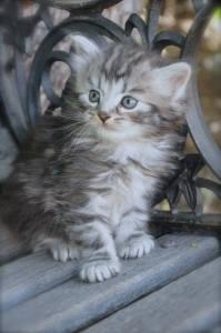 Sierra as Kitten -- NoCo Siberian Kittens For Sale