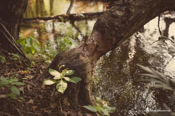 Drzewo ścięte rzez bobry