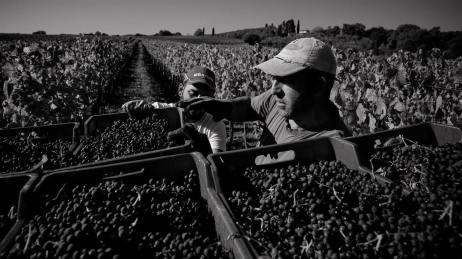 © John McDermott. Raccolta dell'uva in Toscana.