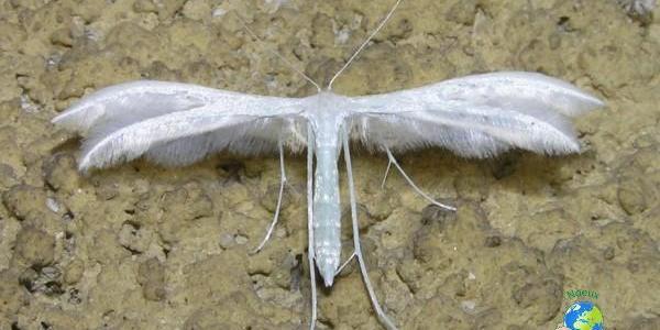 Le Ptérophore blanc mangeur de liserons