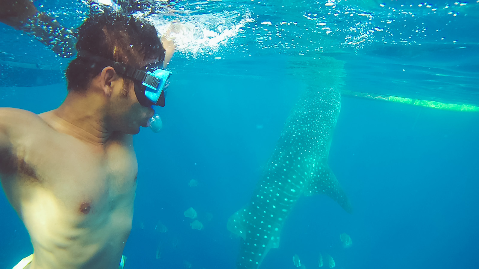 Butanding Or Whale Shark Watching Experience In Oslob Cebu