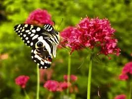 Farfalla-Papilionide-Papilio-demodocus